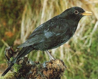 Merles noir debout sur une souche d'arbre
