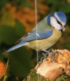 Mésange bleue perché sur branche