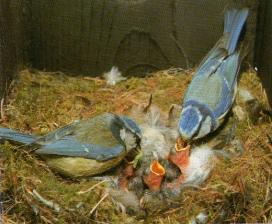 Couple mésange bleue au nid avec oisillons