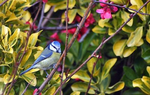 Mésange bleue perché dans arbre