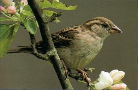 Moineau domestique perché sur branche fleurie