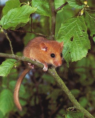 Muscardin perché sur une branche de noisetier