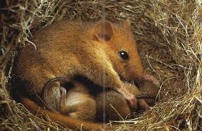 Muscardin femelle au nid avec ses petits