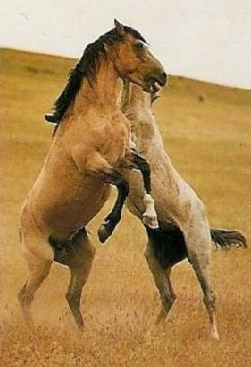 Mustangs combat
