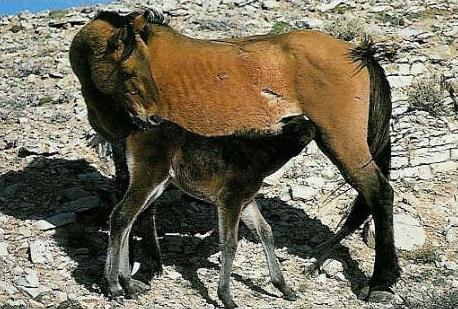 Mustang et son poulain