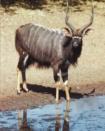 Nyala mâle debout devant un point d'eau