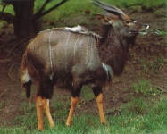 Nyala mâle se baladant dans la végétation