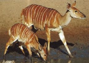 Nyala femelle protégeant son jeune entrain de boire