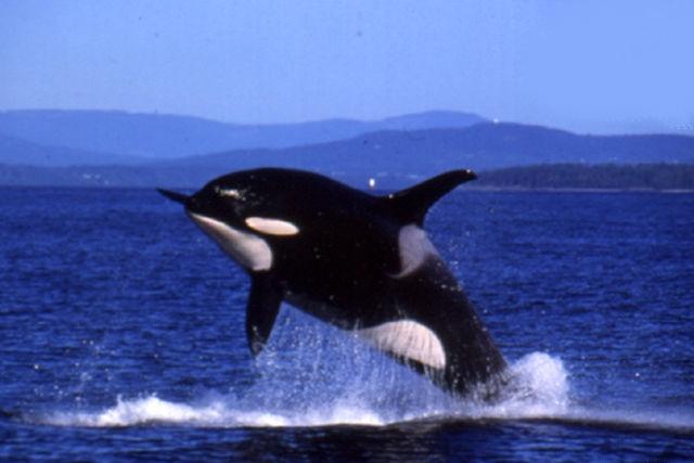 Orque bondit hors de l'eau