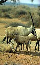 Oryx et ses petits