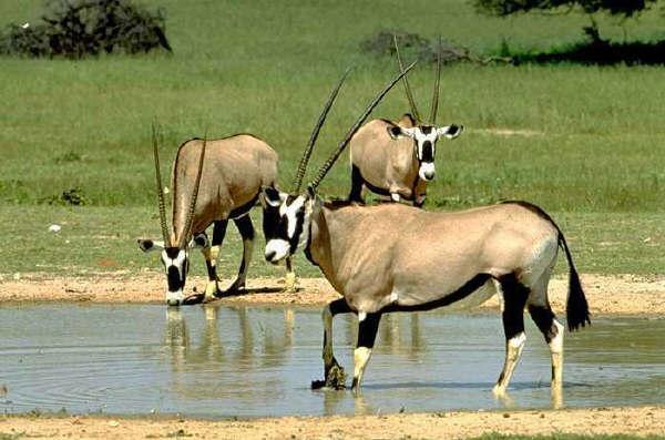 Oryx entrain de boire