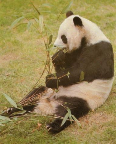 Panda assit