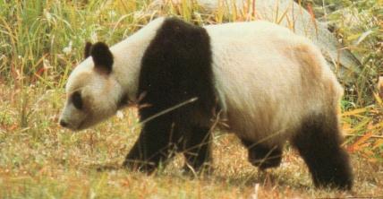 Panda se ballade