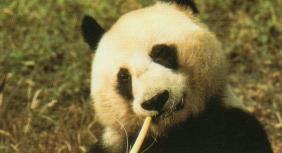 Panda (grand)3