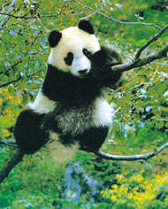 Panda dans arbre