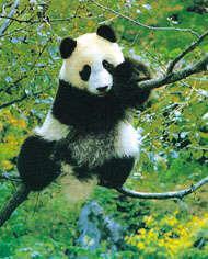 Panda (grand)6
