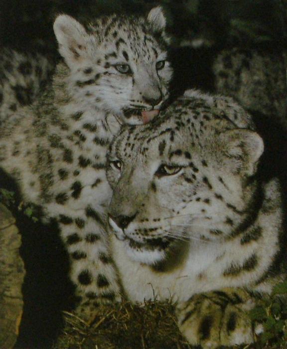 Panthère des neiges femelle avec son petit