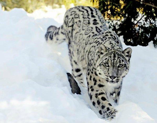 Panthère des neiges, marche dans la neige