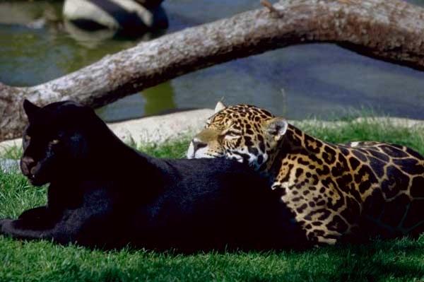 Panthère de robe traditionnelle et robe noire couché l'une sur l'autre dans l'herbe