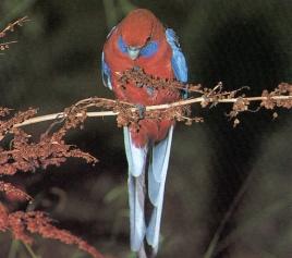 Perruche pennant perché sur fine branche