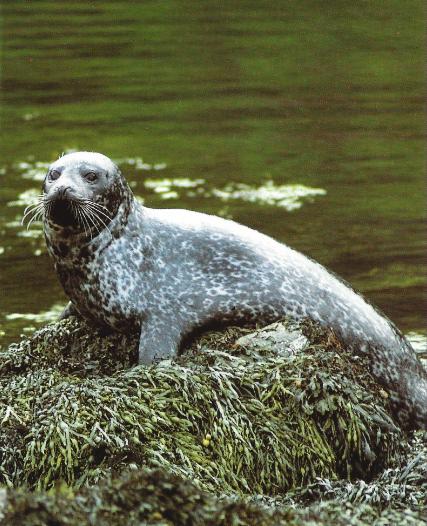 Veau marin assis sur un rocher