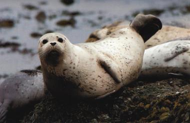 Veau marin allongé sur rocher, tête levé