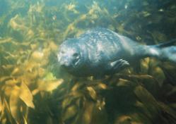 Veau marin nageant sous l'eau