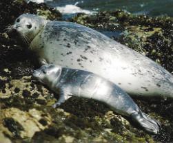 Femelle veau marin et son petit sur rocher