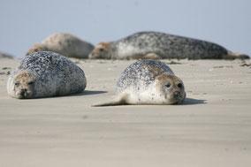 Veaux marins allongé sur le sable - lesbaladeux.com