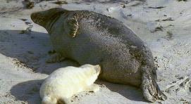 Phoque gris femelle et son petit