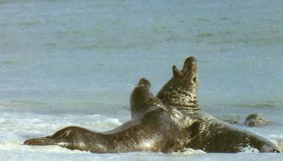 Phoques gris au bord de mer