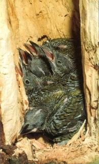 Jeunes pic-vert au nid