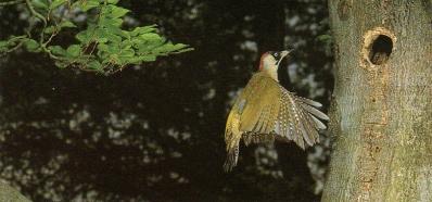 Pic-vert voletant devant tronc d'arbre