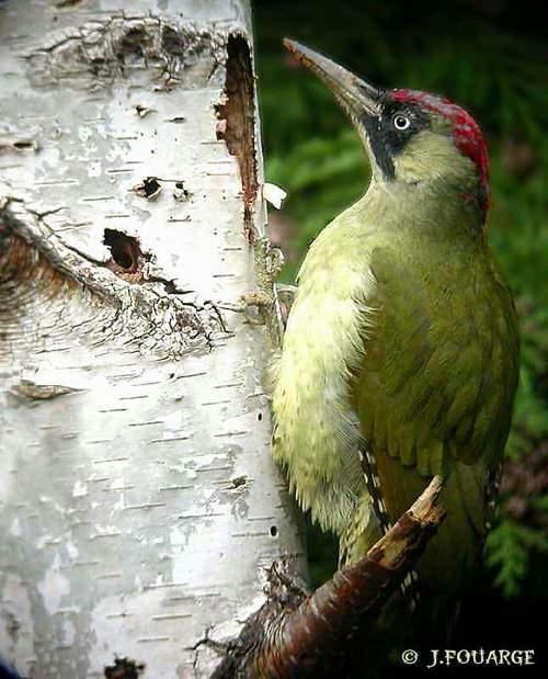 Pic-vert sur tronc d'arbre, trou