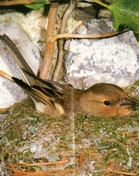 Femelle pinson au nid, couve