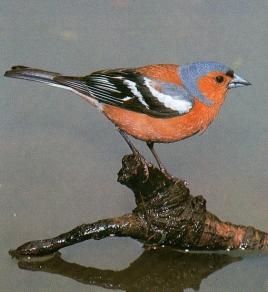 Pinson posé sur branche qui dépasse de l'eau