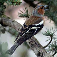 Pinson mâle chante