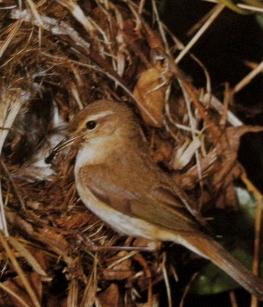Femelle pouillot véloce posé à l'entrée du nid, nourrit les jeunes.
