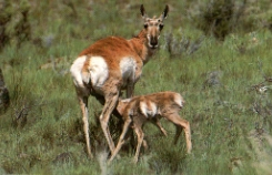 Pronghorn allaite faons