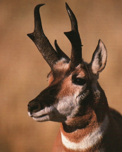Pronghorn portrait