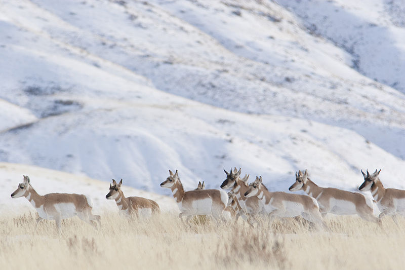 Pronghorns harde