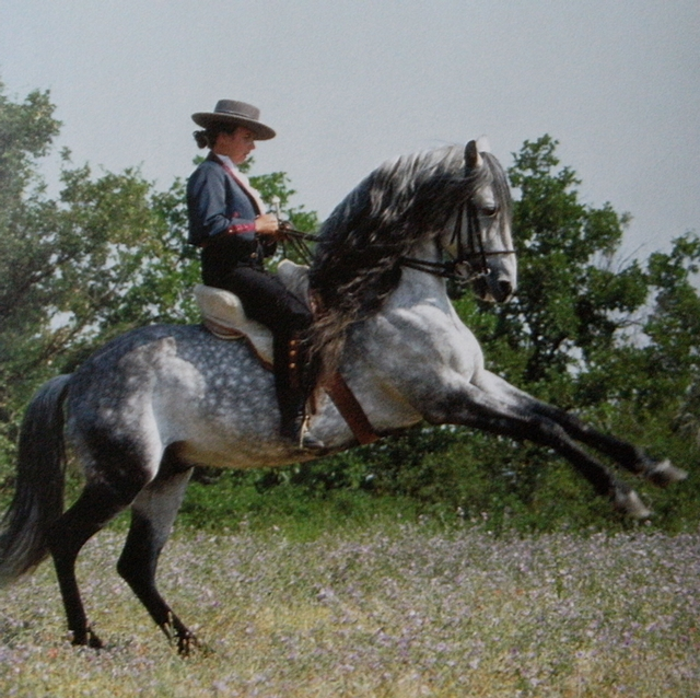 Pure race espagnol monté par cavalier, légèrement cabré