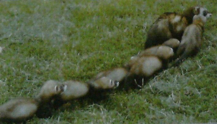 Femelle putois suivit de ses 6 petits, en file indienne.