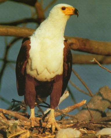 Pygargue vocifer perché sur son nid