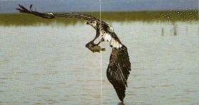 Pygargue vocifer chasse, proie dans ses serres