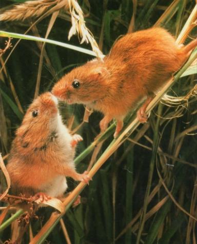 Deux rats des moissons perché sur brindille