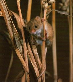 Rat des moissons perché sur brindille de blé