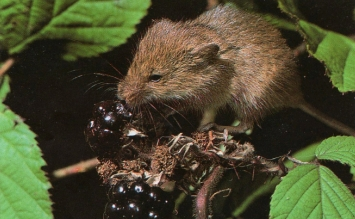 Rat des moissons mange mûres