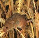 Rat des moissons perché sur brindille blé, queue accroché à autre brindille