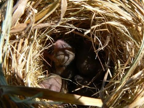 Rats des moissons au nid
